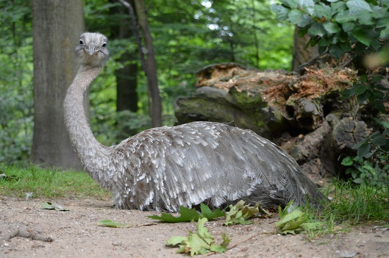 Смотреть красивую картинку страус эму отдыхает