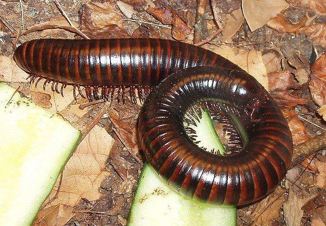 Скачать бесплатно лучшее фото черного червя