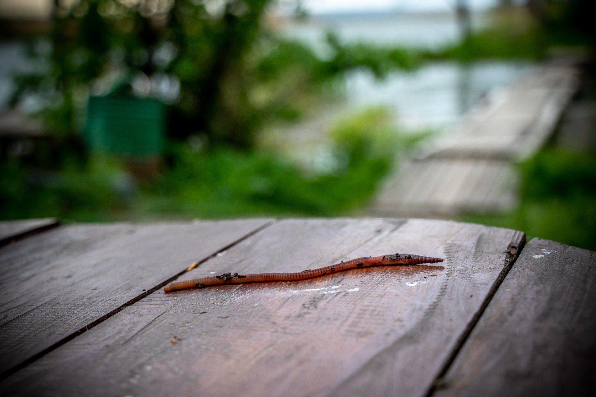 Скачать фото большой, дождевой червь бесплатно