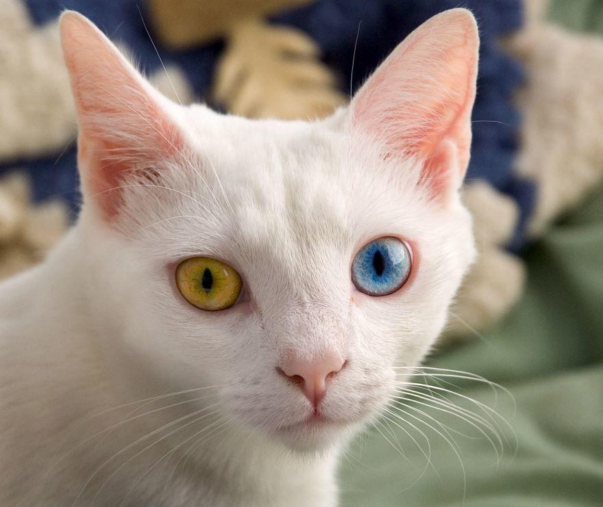 Красивая и милая картинки белой кошки