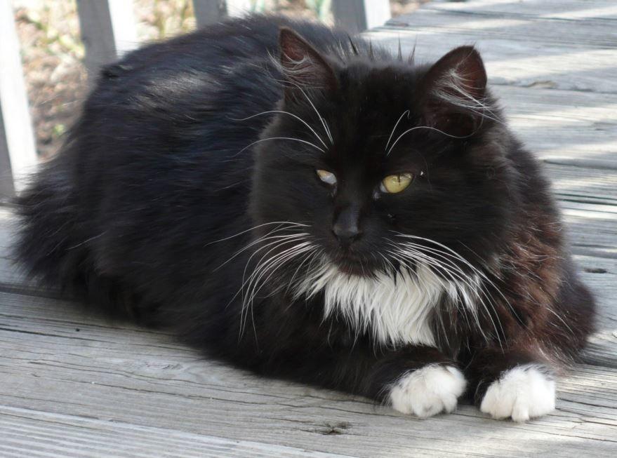 Милая картинка черно-белой кошки бесплатно