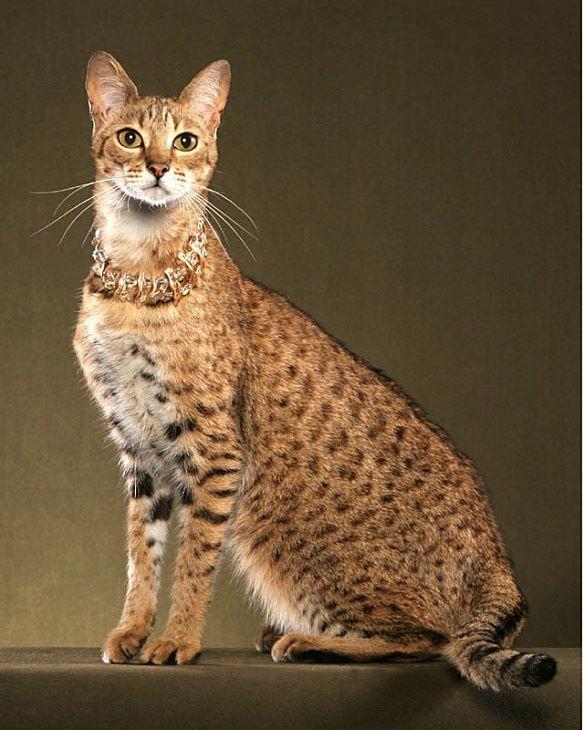 Самая дорогая кошка в мире - Ашера, стоит от 15 до 100 тыс. долларов