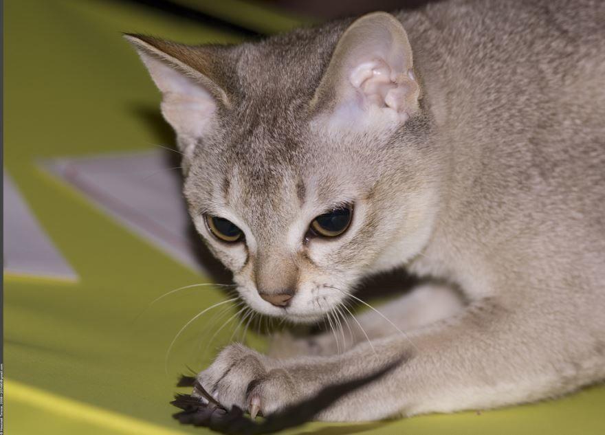 Самая маленькая порода кошек - сингапура