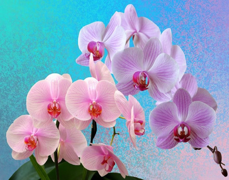 Фото домашней орхидеи бесплатно