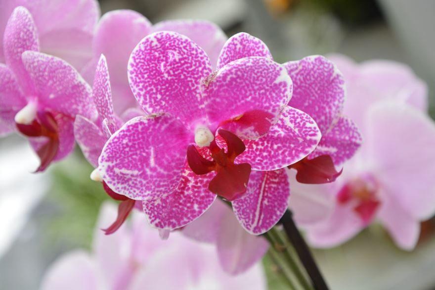 Фото орхидеи фаленопсис