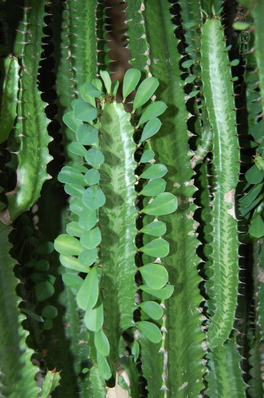 Смотреть бесплатно фото кактуса