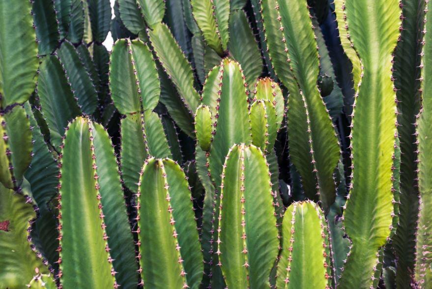 Фото и картинки растения - кактус бесплатно