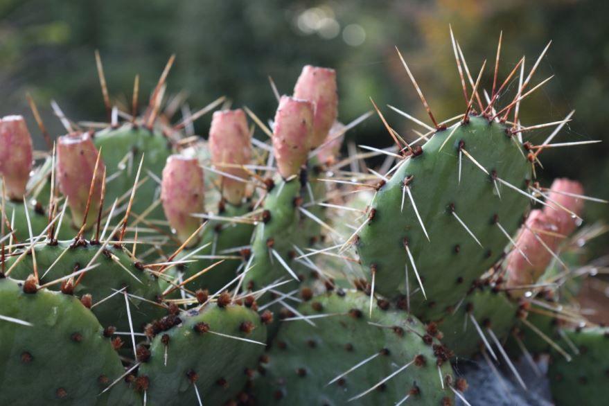Смотреть фото кактуса, выращенного в домашних условиях