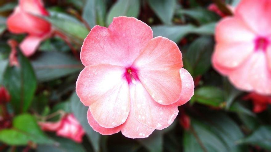 Смотреть фото цветка бегонии бесплатно
