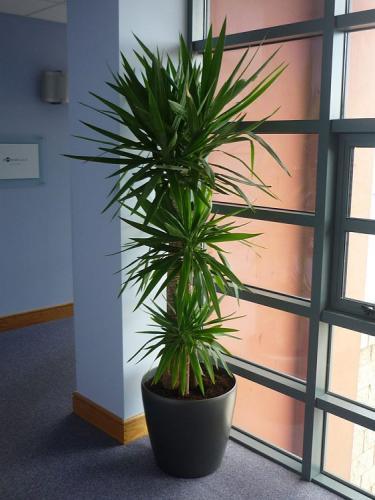 Комнатная пальма юкка
