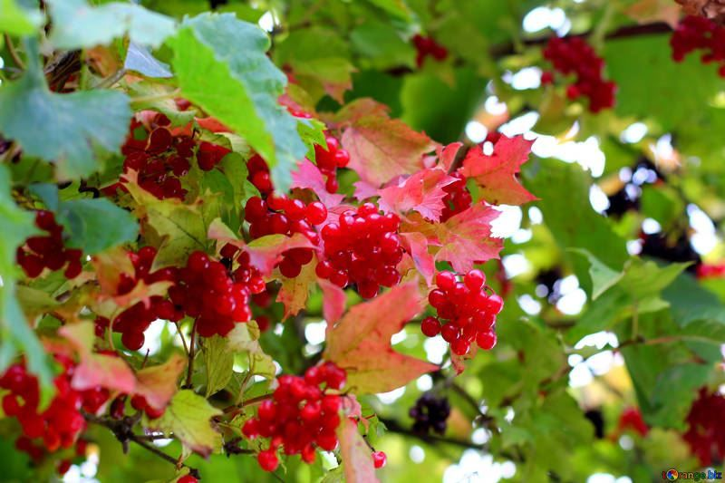 Смотреть фото лечебных, лекарственных ягод