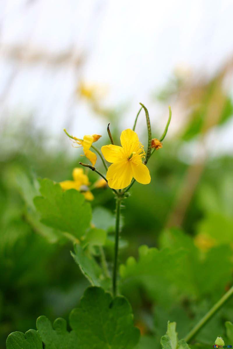 Дикорастущее лекарственное растение чистотел