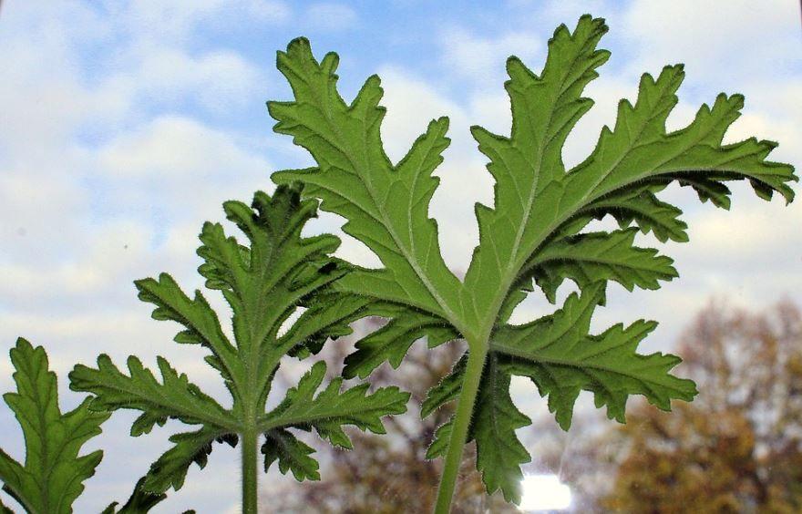 Фото лекарственных растений - герань