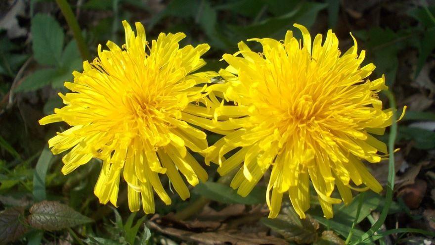 Лекарственные растения - одуванчик