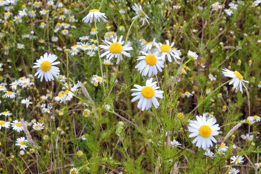 Фото полевых ромашек - лекарственное растение