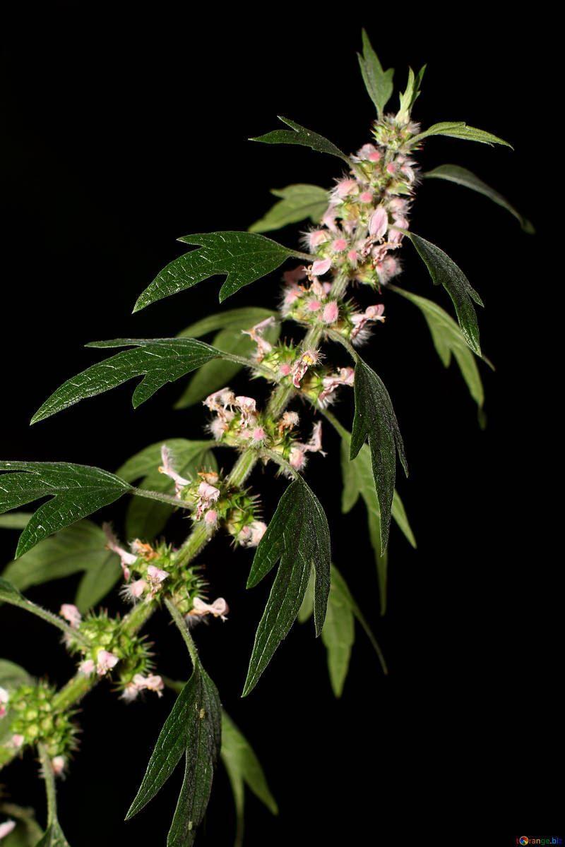 Лекарственные растения - пустырник, смотреть фото