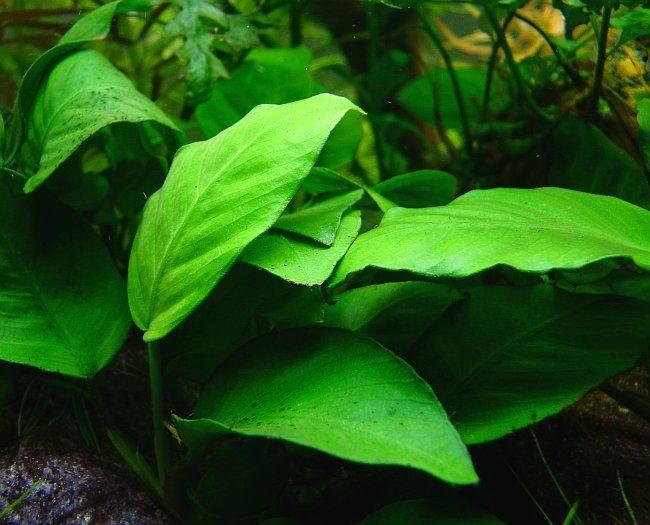 Аквариумные растения с названием: анубиас
