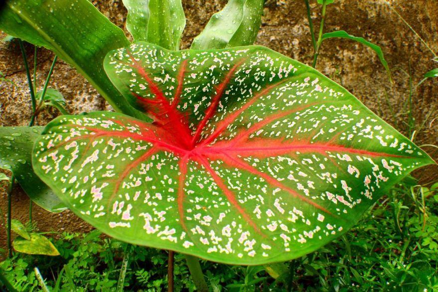 Ядовитые растения, способные расти в домашних условиях