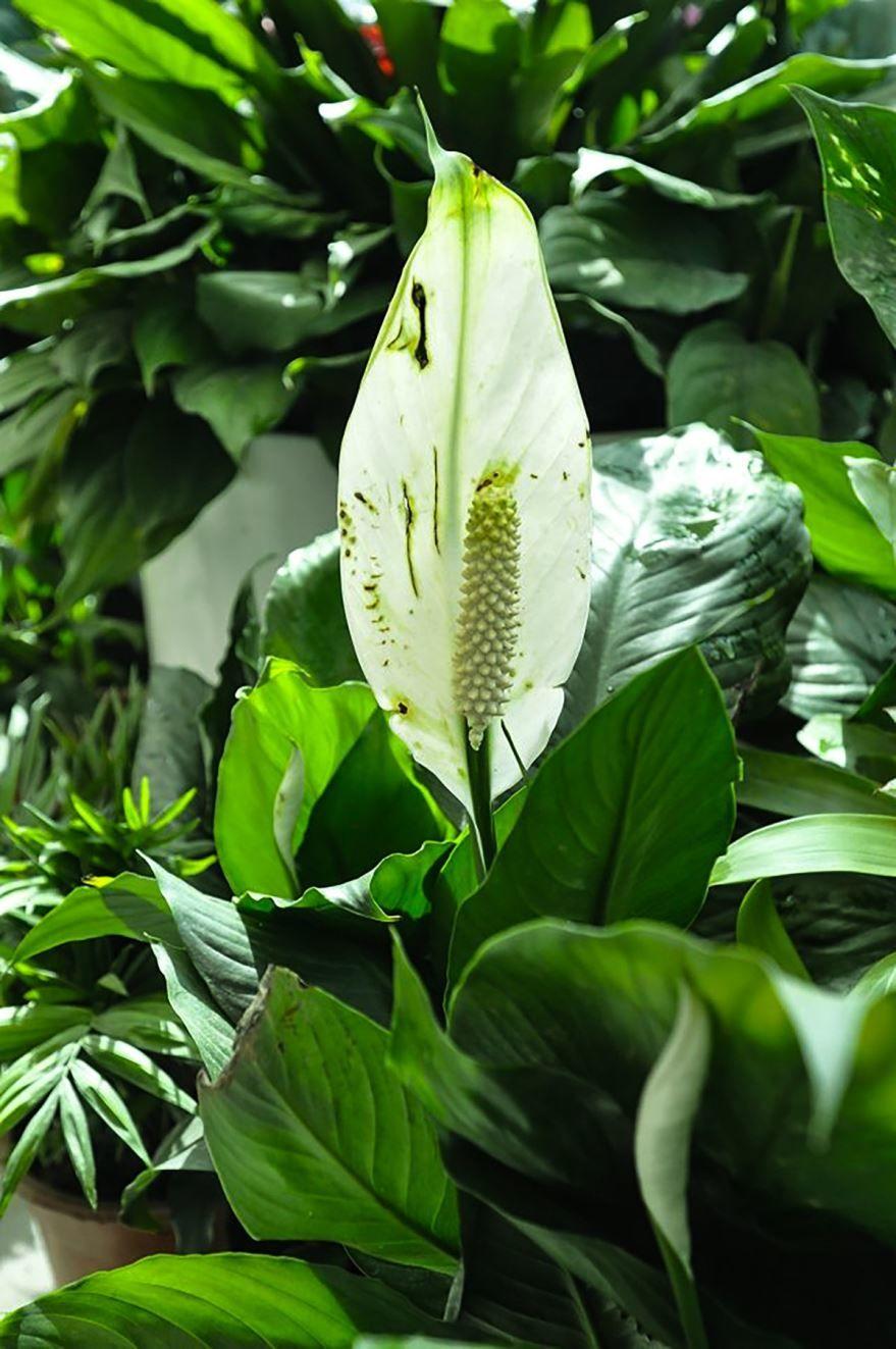 Одно из самых ядовитых растений