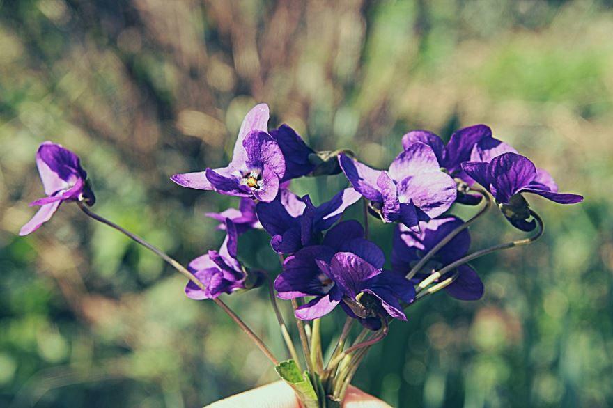 Бесплатные фото цветущей фиалки