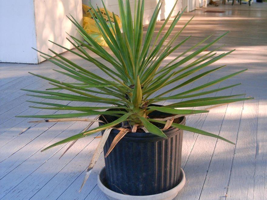 Фото комнатной пальмы юкка