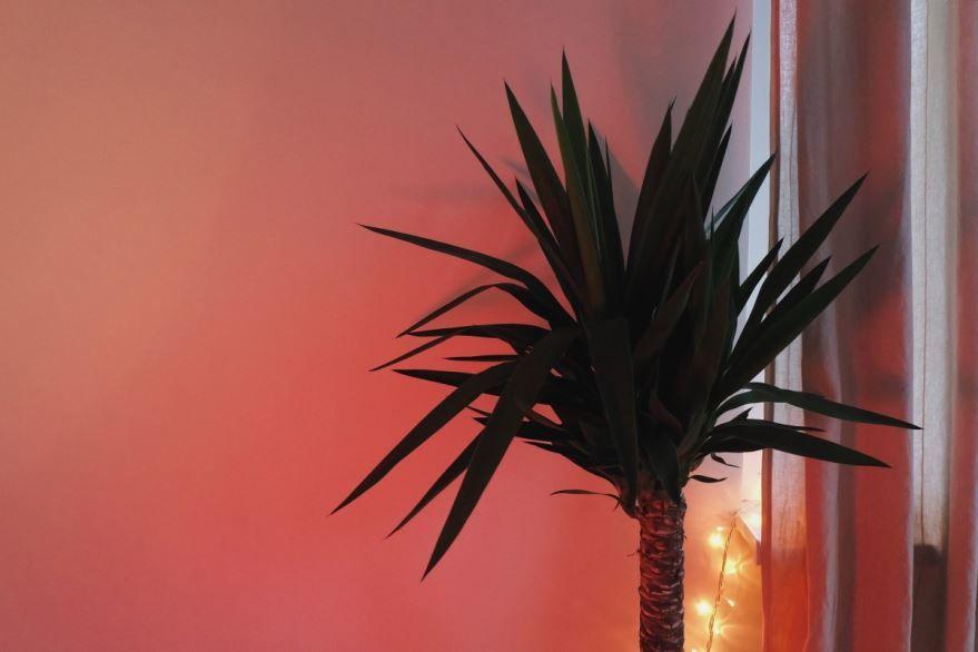 Фото одного из видов домашних пальм