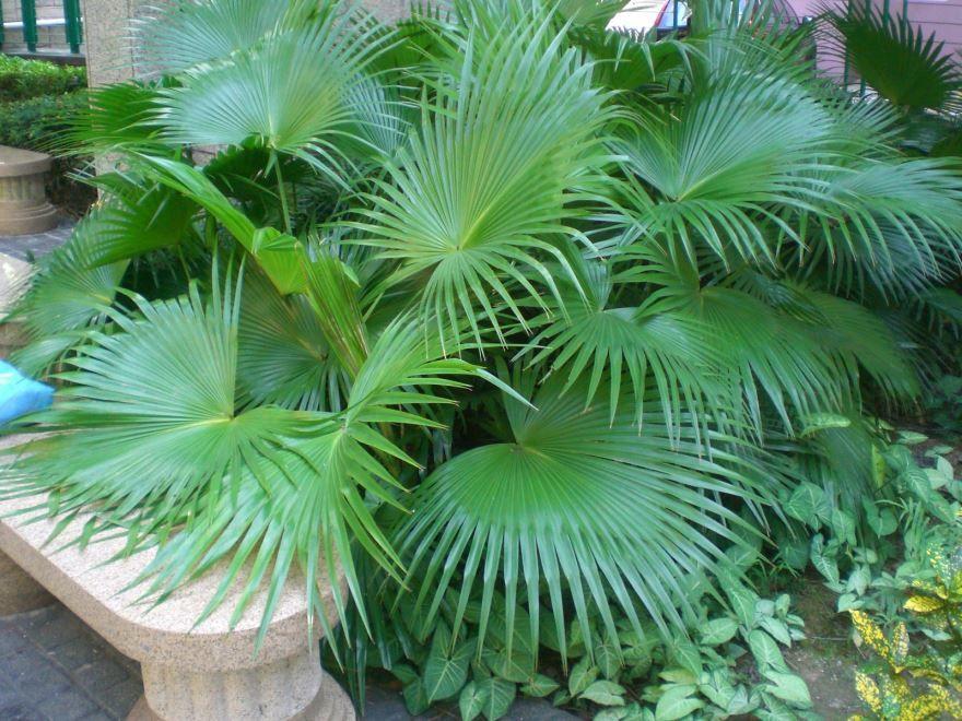 Смотреть картинки домашней пальмы