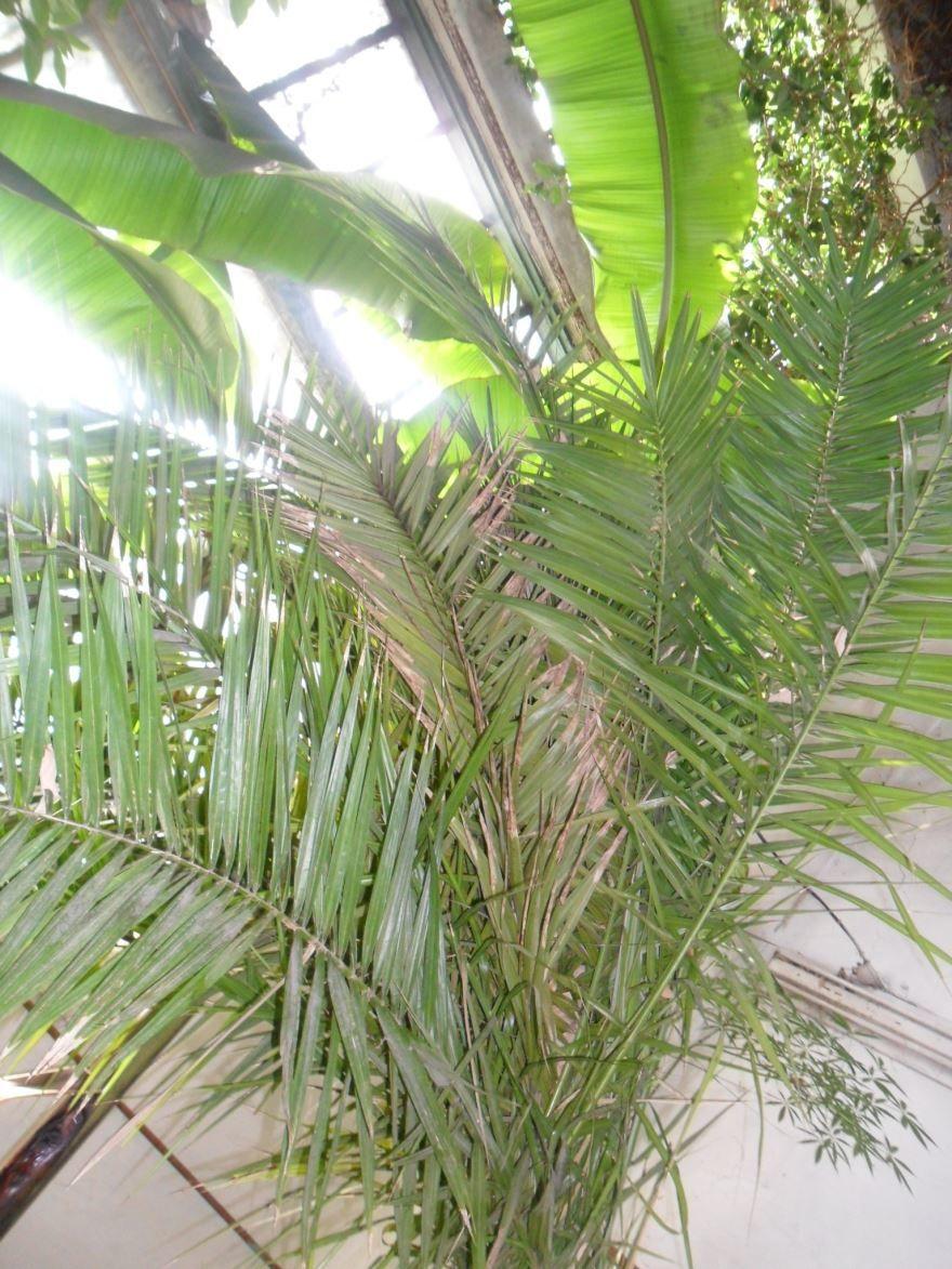 Фото полезных плодов растения финика