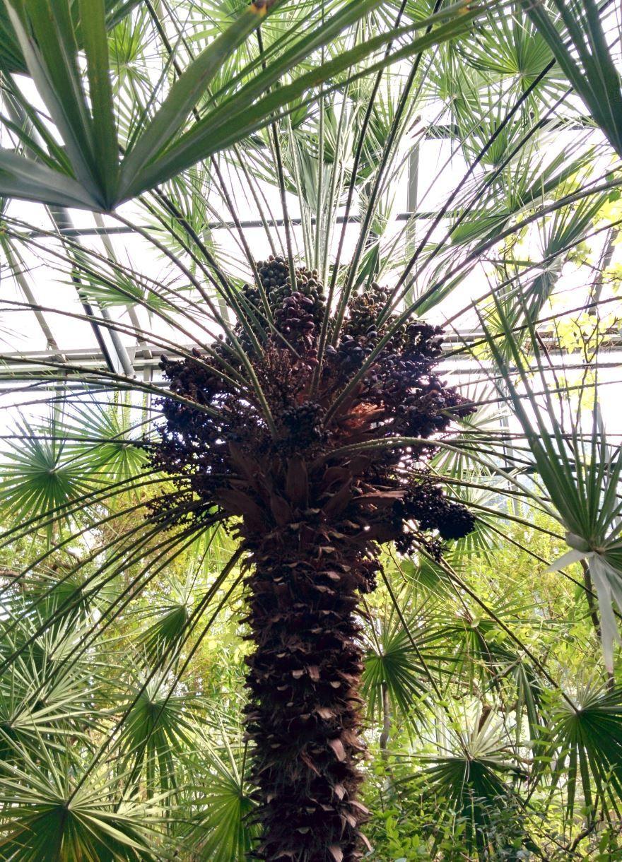Фото растения канарского финика бесплатно