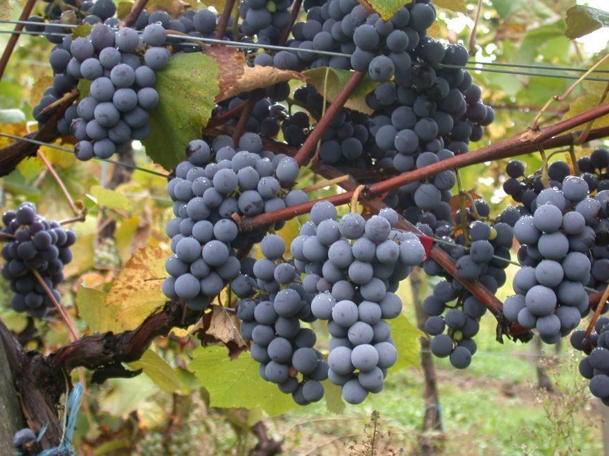 Домашнее культурное растение - виноград