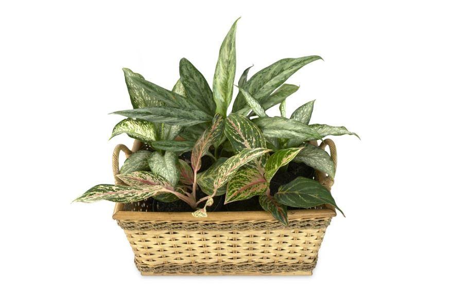 Смотреть фото растения диффенбахии бесплатно