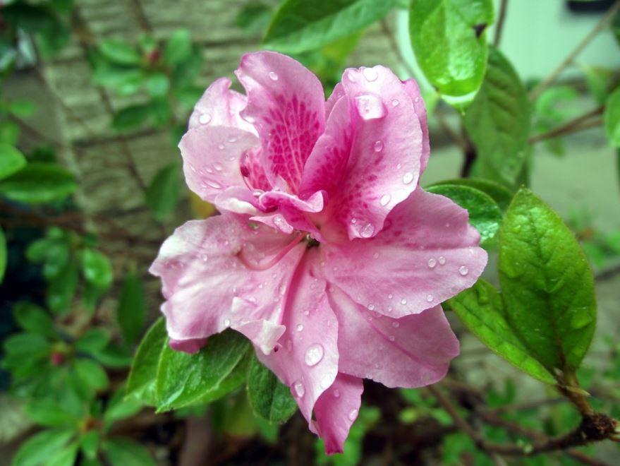 Смотреть фото цветка азалии бесплатно
