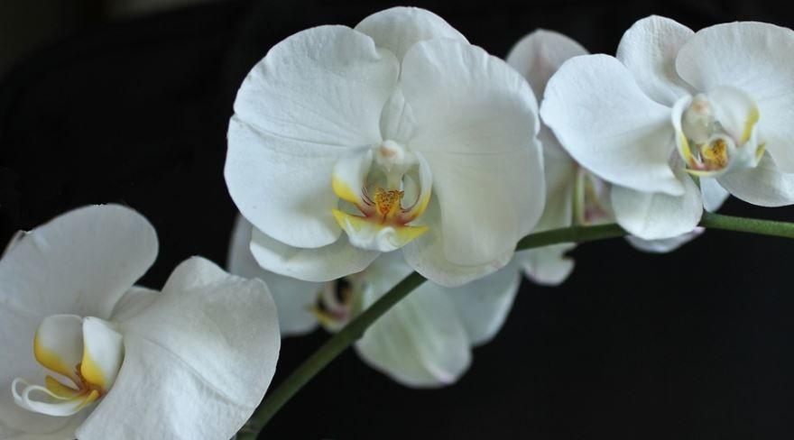 Картинки белой орхидеи 2019 года онлайн
