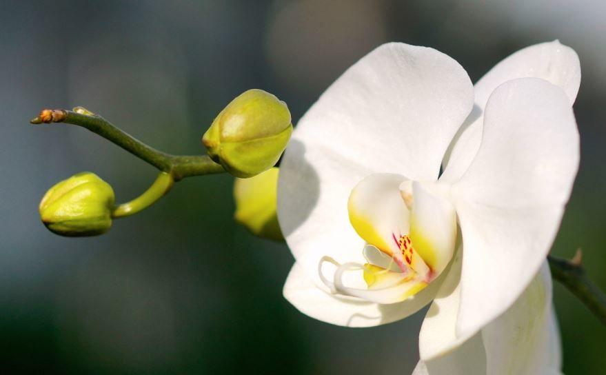 Смотреть цветок белой орхидеи
