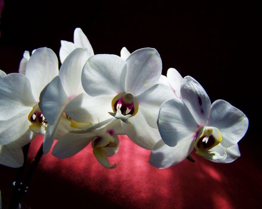 Смотреть фото орхидеи белого цвета