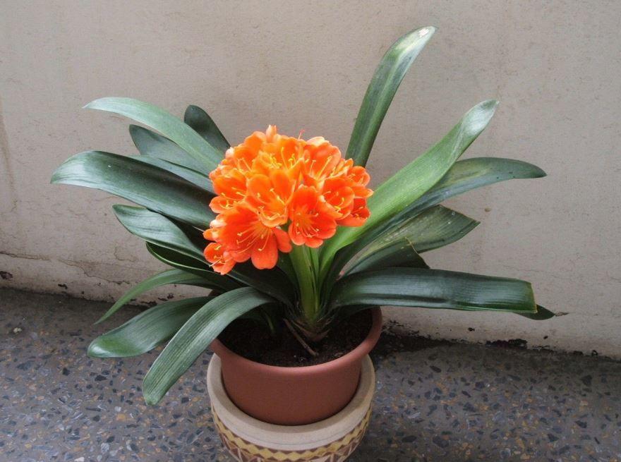 Фото цветущего комнатного растения
