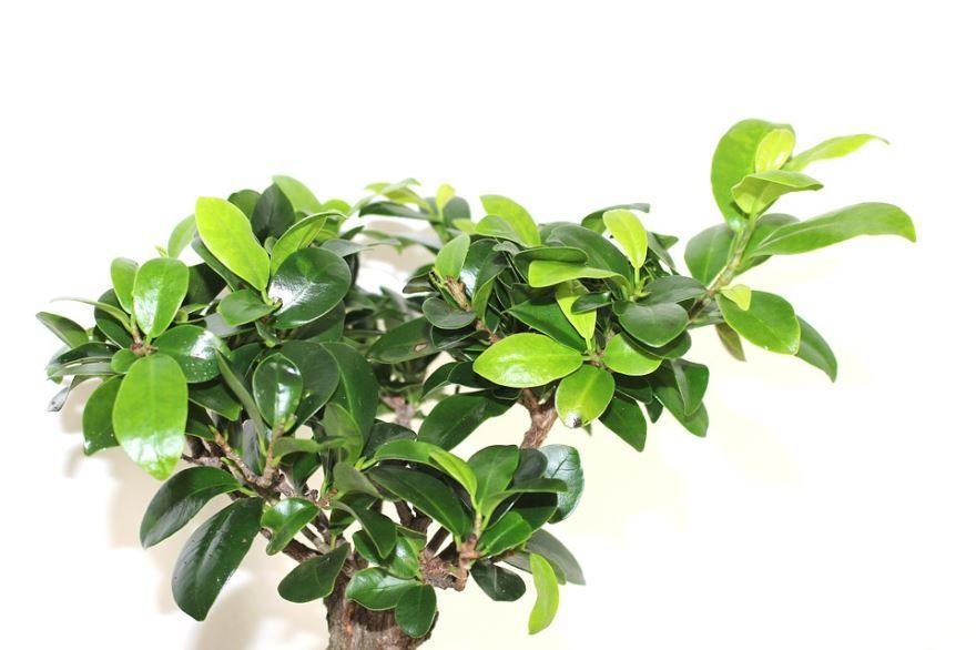 Декоративное домашнее, лиственное дерево, смотреть фото