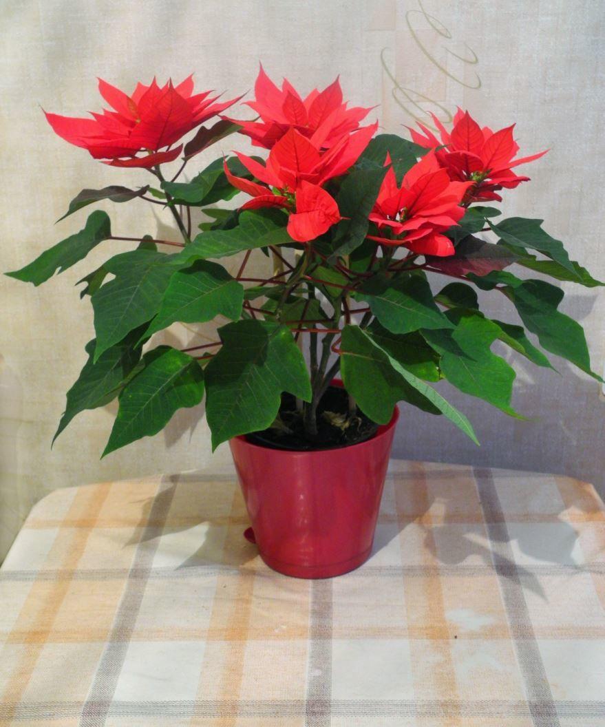 Смотреть фото комнатных растений - маргаритка
