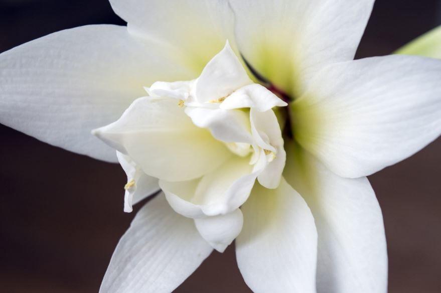 Смотреть фото луковичных цветов - нарцисс