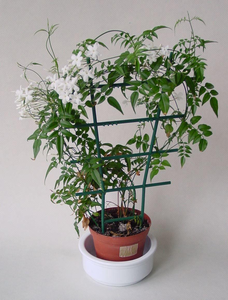 Фото вьющихся комнатных растений бесплатно