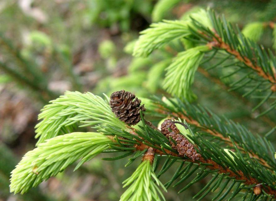 Фото разных видов хвойных растений бесплатно
