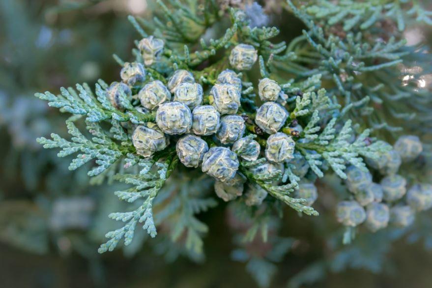 Фото хвойных растений для дачи