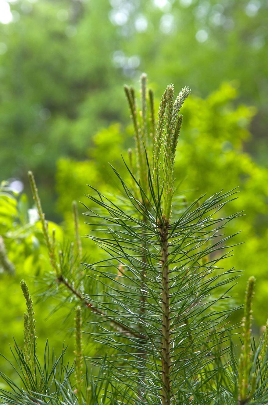 Смотреть фото хвойных растений для сада