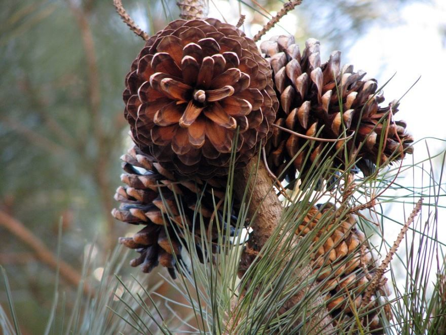 Фото шишек хвойных растений