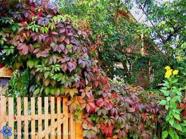 Фото вьющихся, многолетних растений бесплатно