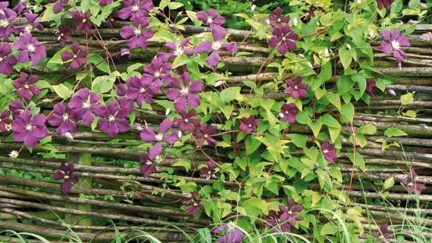 Картинки вьющихся растений для дачи