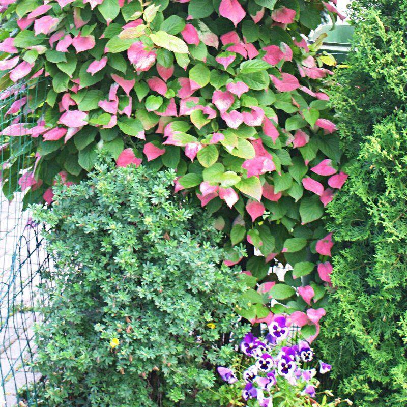 Фото вьющихся растений для сада