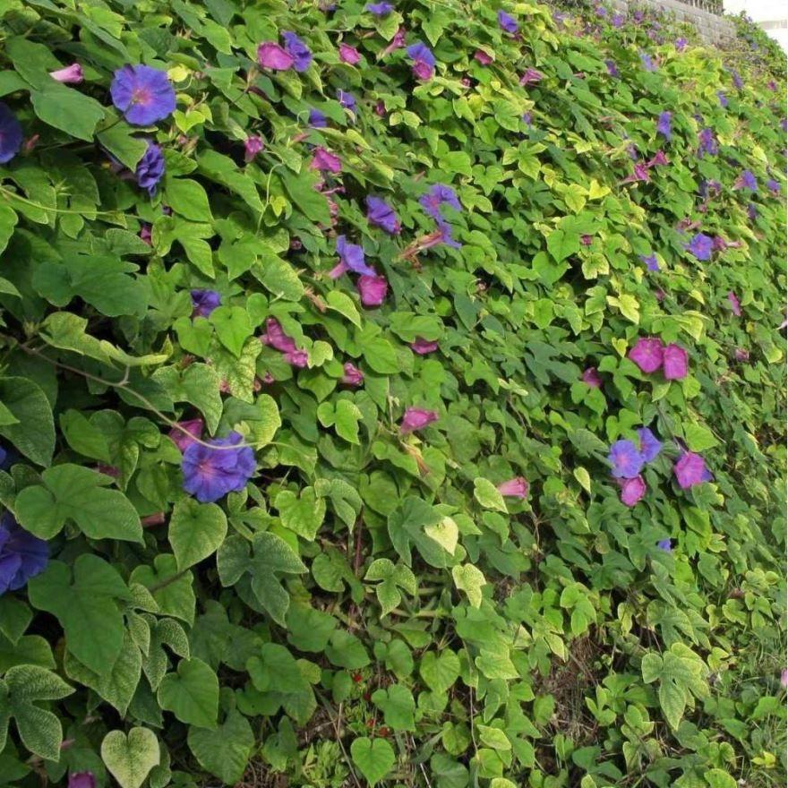Вьющиеся растения для забора дачи
