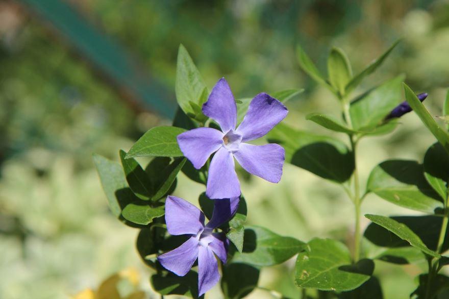 Многолетнее вьющееся растение для забора