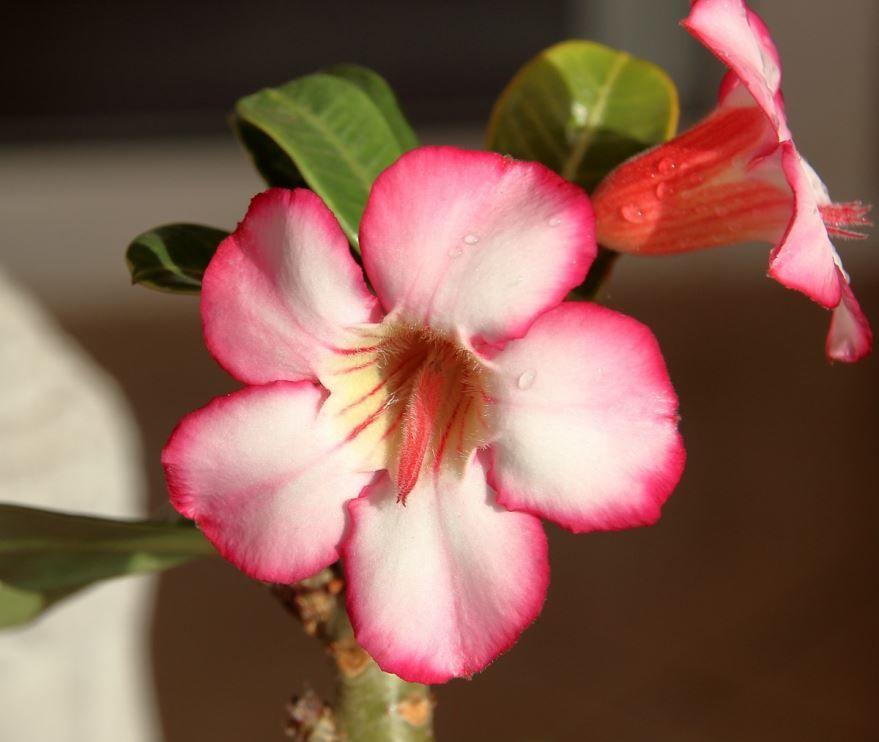 Фото и картинки цветка адениума с интернета бесплатно